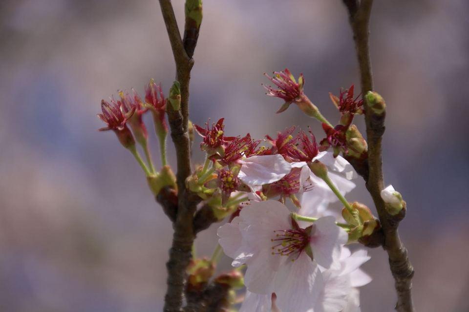 春風に 花びら寂し 桜花