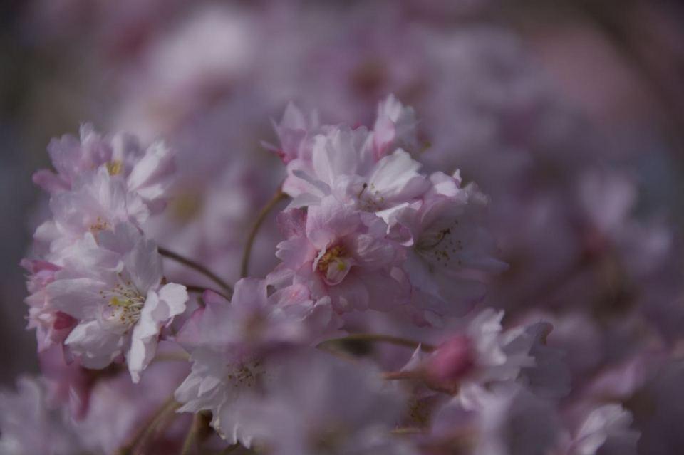 馬籠宿 永昌寺の枝垂れ桜