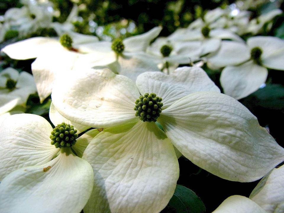 木蔭のヤマホウシが満開に咲きそろいました border=