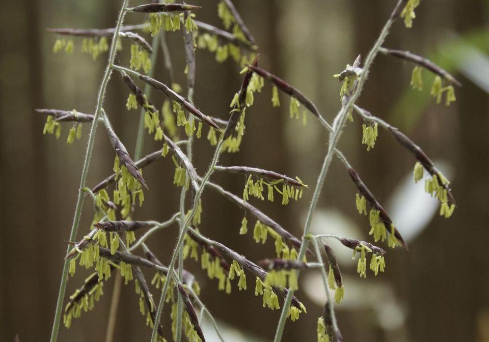恵那山麓に60年ぶりのクマ笹の花。