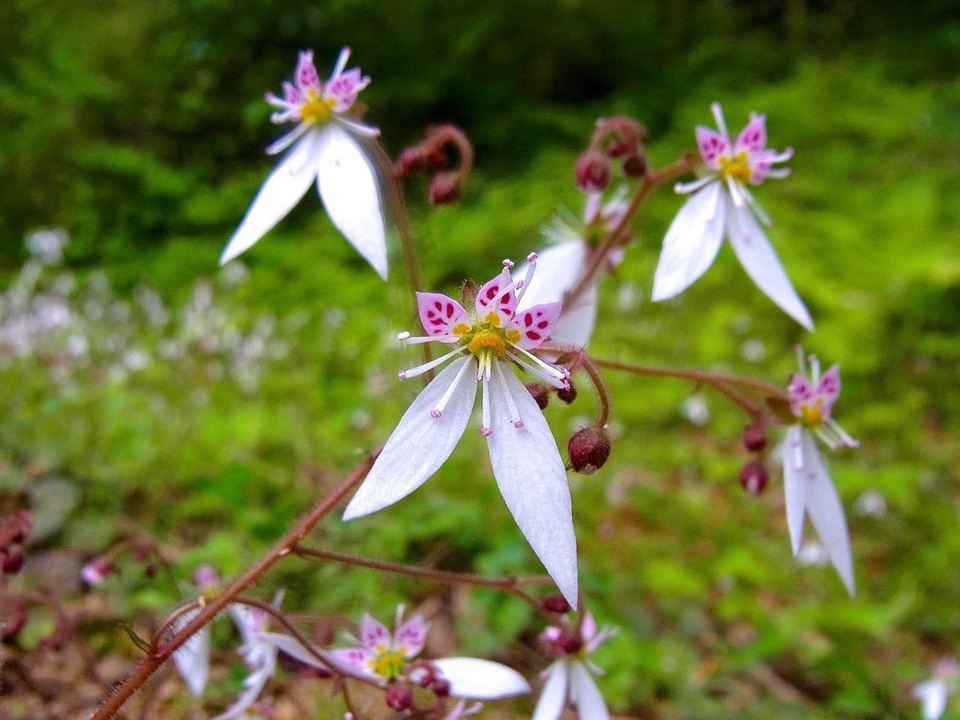 ユキノシタ咲きそろう。
