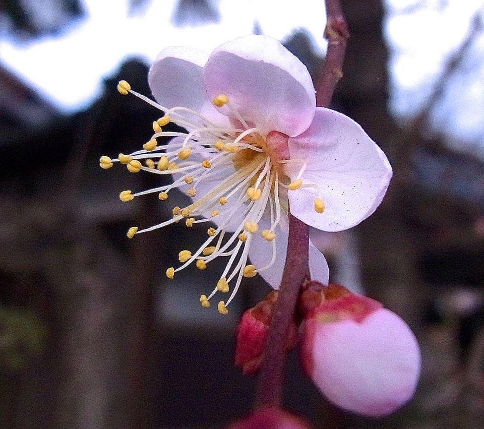 梅が咲き出した、十日えびすの中津川西宮神社境内にて。