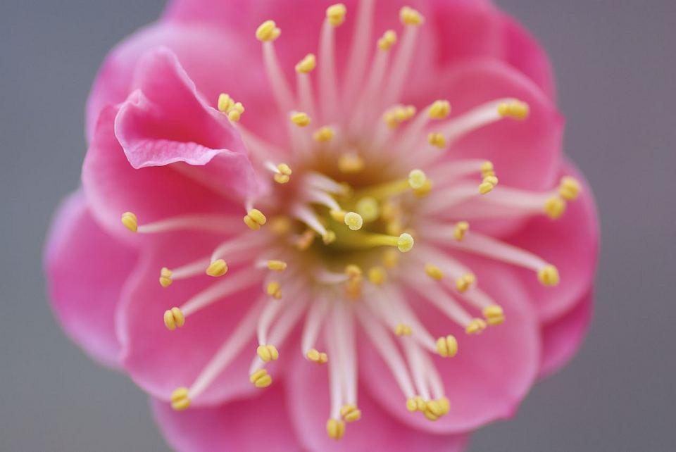 鮮やかなりしピンクの八重紅梅。