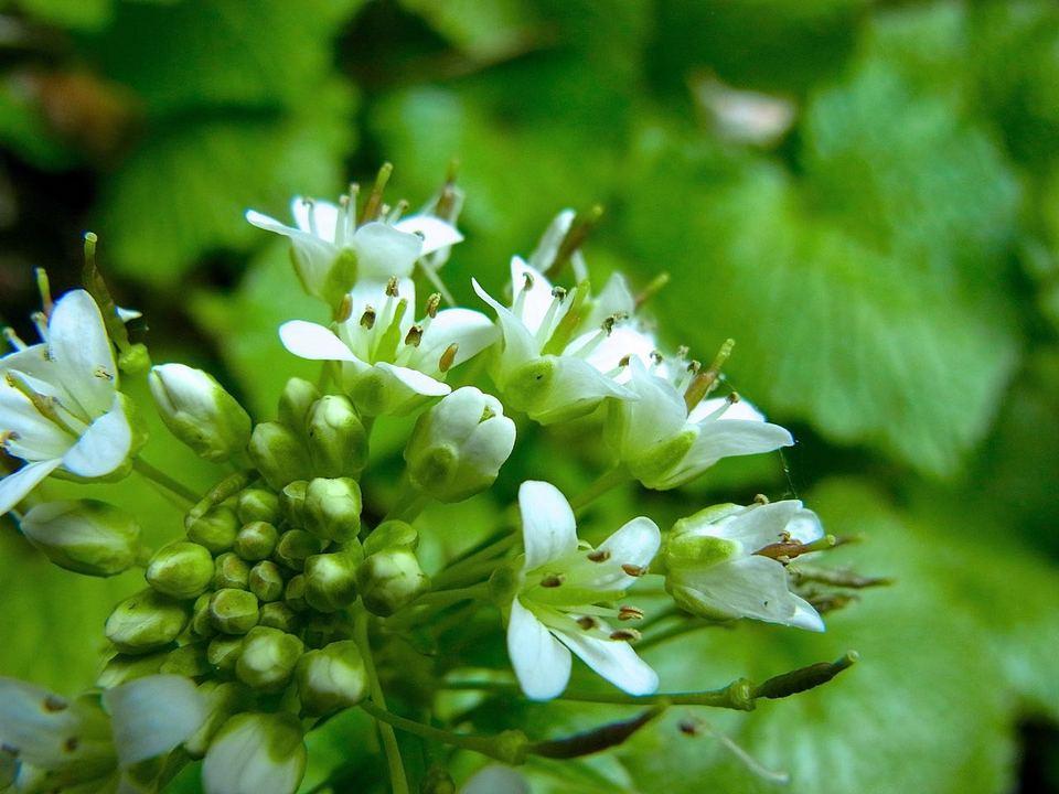 「春を探しに野に出よう」ワサビの花 border=