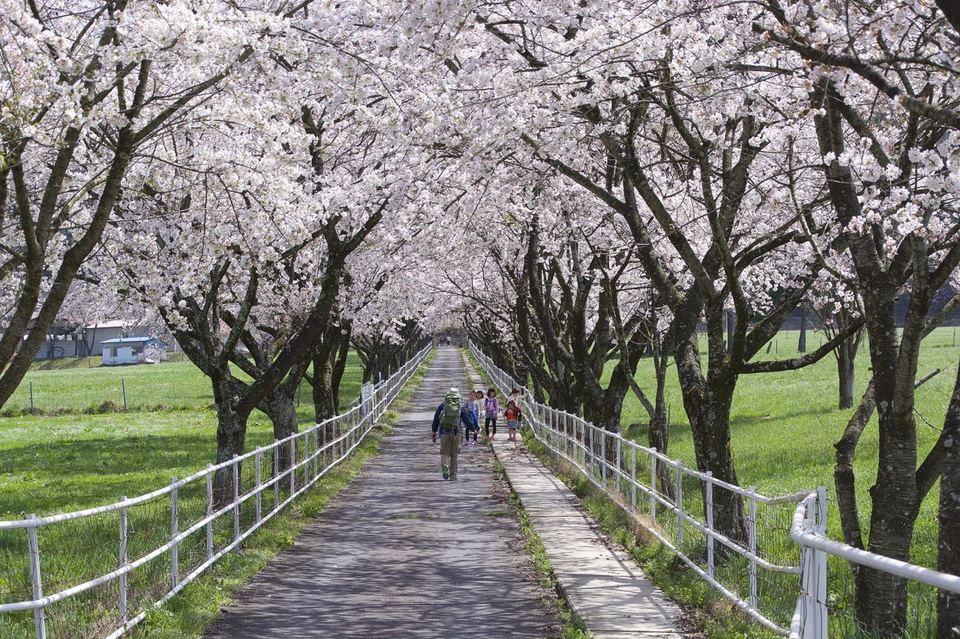 「中津川市ふれあい牧場」の桜並木は満開 ‼  border=