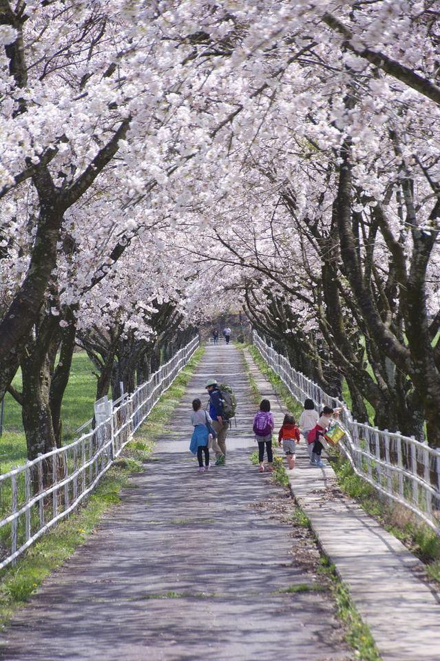 「中津川市ふれあい牧場」の桜並木は満開 ‼