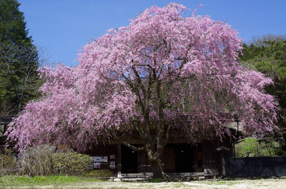 一石栃白木改番所の枝垂れ桜が見事に満開です。 border=