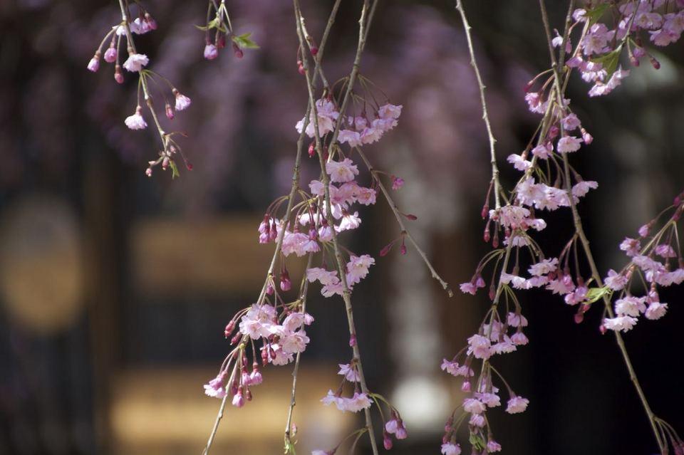 一石栃白木改番所の枝垂れ桜が見事に満開です。