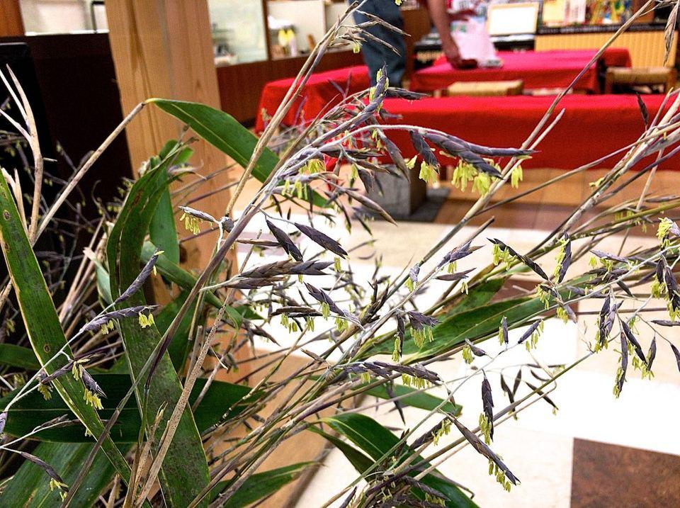 珍品、百年咲きの笹花を展示。