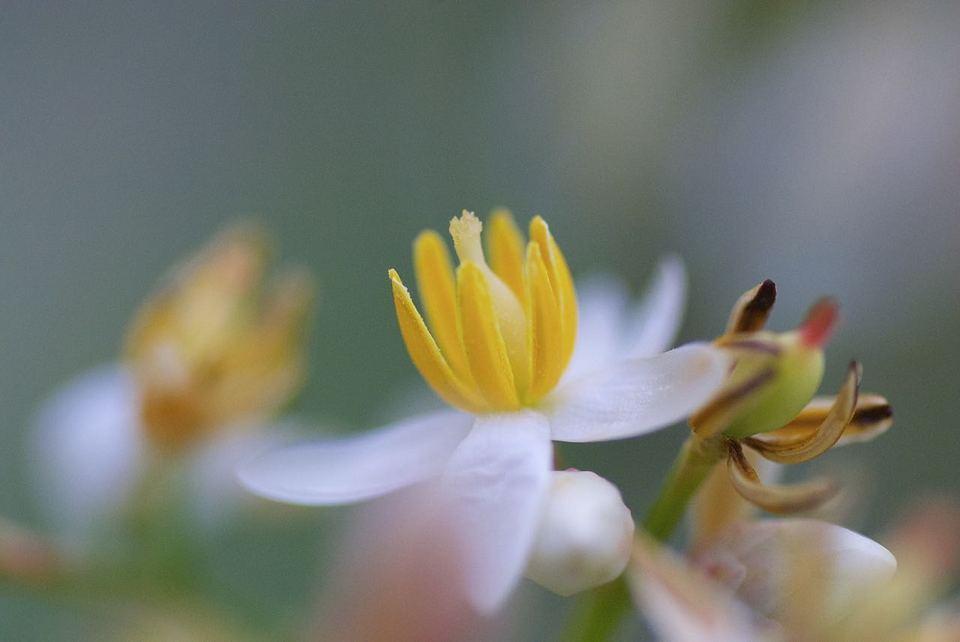 梅雨に咲くナンテンの白い花
