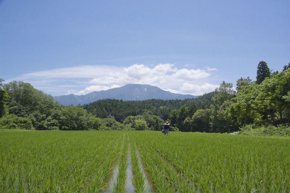 梅雨の晴れ間の田の草取り