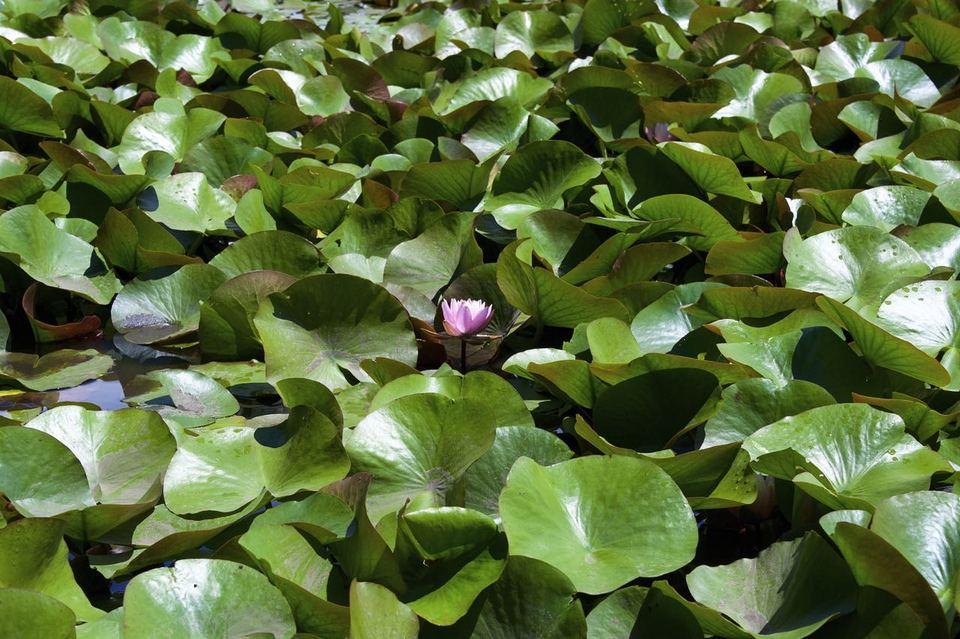 コウホネ池の隣、すいれん池。