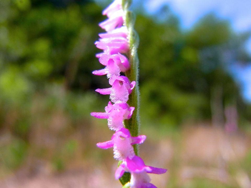 「ネジバナ」の別名は「モジズリ」(捩摺)、情熱の花?
