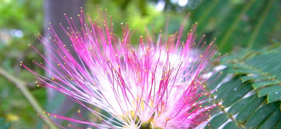 モジャモジャの合歓の花