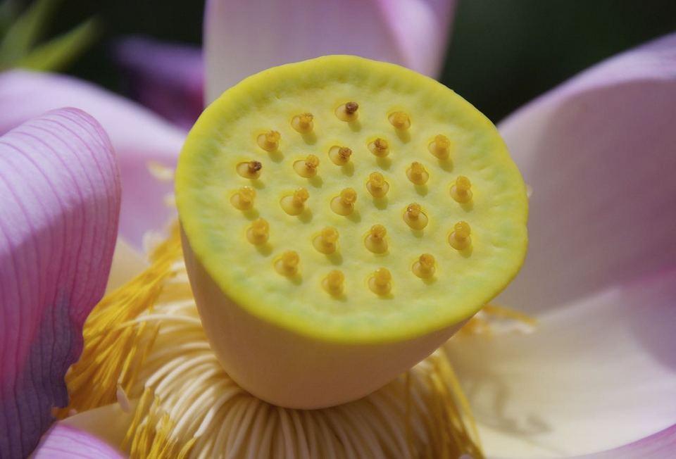 蓮の花托と感動の出会い‼︎