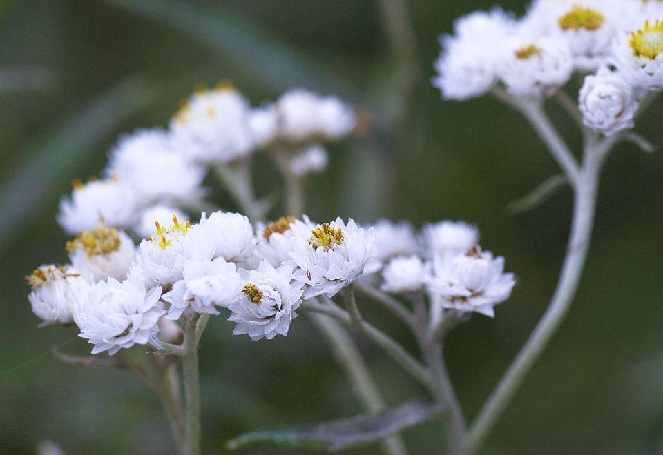ヤマハハコの蕾は純白、恵那山のエーデルワイス。