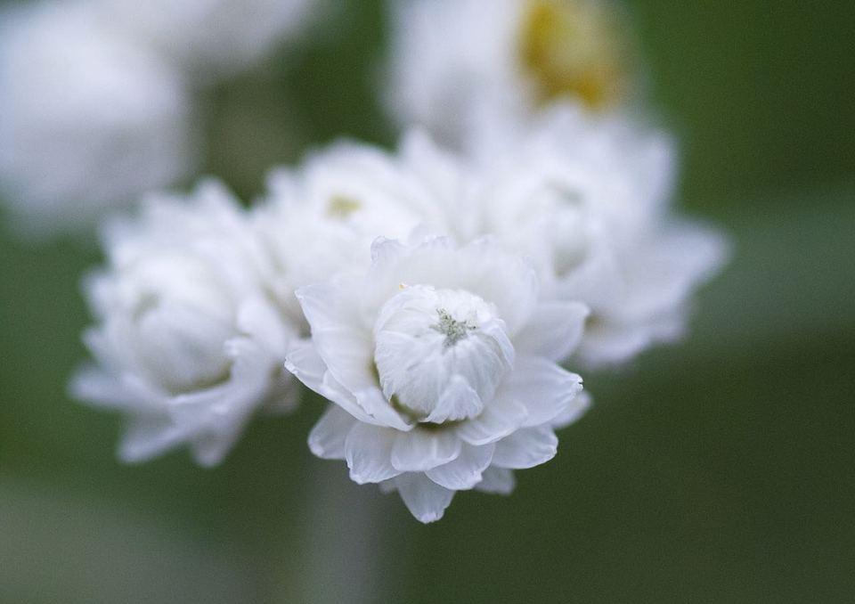 ヤマハハコの蕾は純白、恵那山のエーデルワイス。 border=