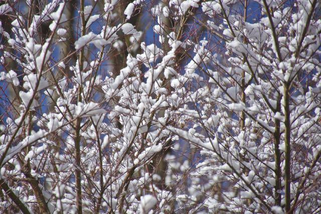 雪花満開。