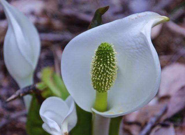付知峡不動滝のミズバショウが咲き出した。 border=