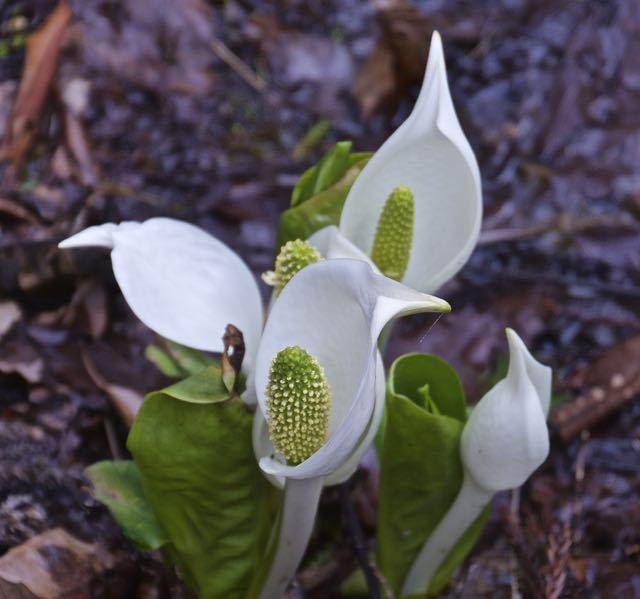 付知峡不動滝のミズバショウが咲き出した。