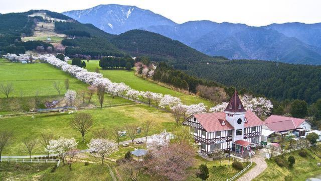 春爛漫‼︎ 「ふれあい牧場」桜の回廊がほぼ満開。 border=