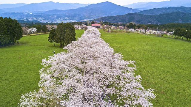 春爛漫‼︎ 「ふれあい牧場」桜の回廊がほぼ満開。