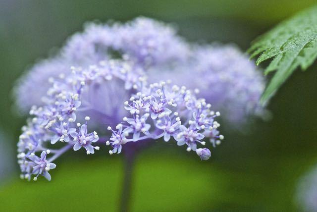 入梅、森の妖精コアジサイが咲き始めました。
