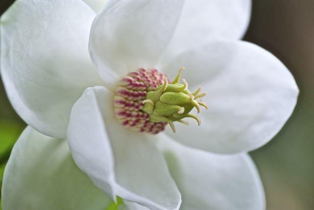 オオヤマレンゲ咲き始める。