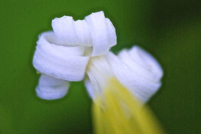 ウリノキ花