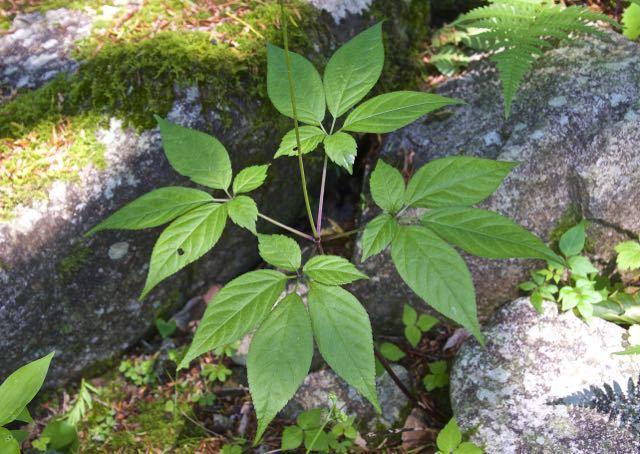 トチバニンジンの花