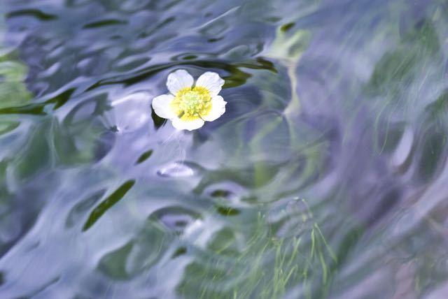 清流の妖精、バイカモ(梅花藻)は水中花。