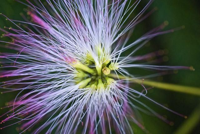 初めはモジャモジャのネムの花