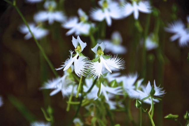 鷺草は、うっとりするほど美しい。