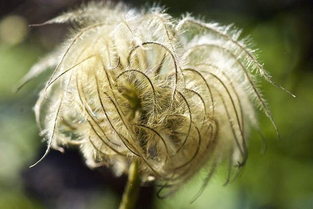 長多喜のテッセンの花が・・・ border=