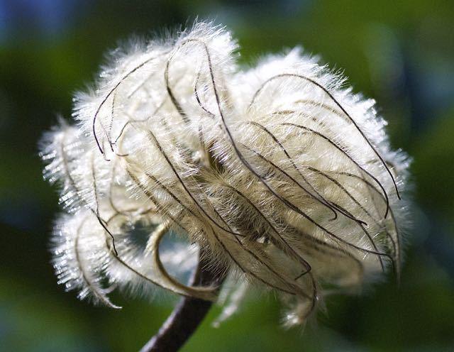 長多喜のテッセンの花が・・・