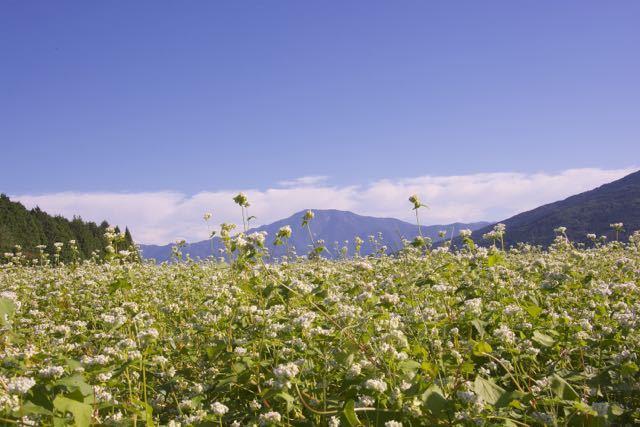 まだまだ咲きます蕎麦の花。 border=