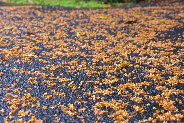 キンモクセイの花、一勢に落ちた朝。10月14日。