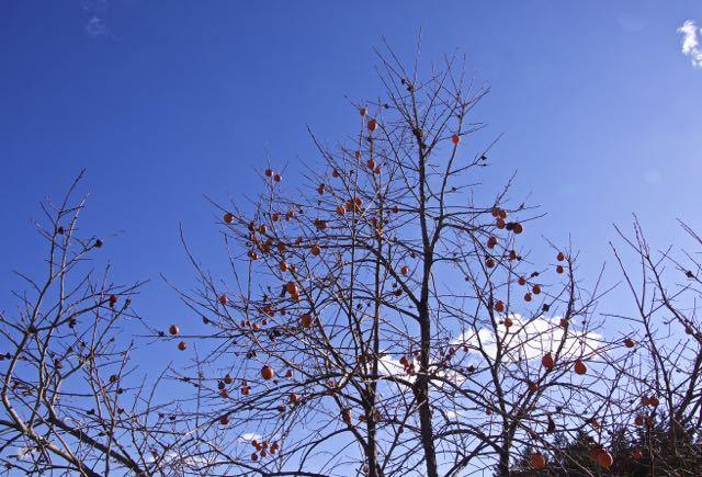 瑠璃色の空の下、柿色が美しい。日本の色。