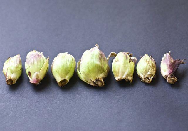 春の山菜一番乗りは長多喜のフキノトウ。