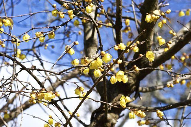 春が来た、長多喜のロウバイが満開。