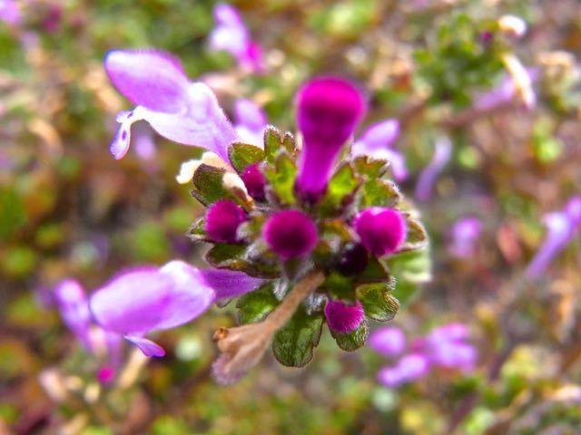 春を探しに野に出よう、鮮やかピンクのホトケノザ