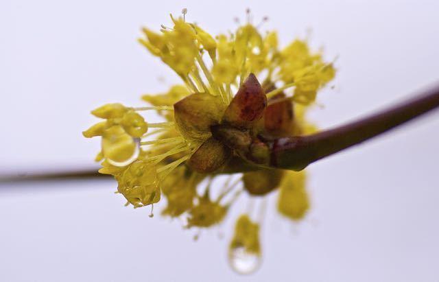 春雨にサンシュユ(山茱萸)、別名を春黄金花(はるこがねばな)