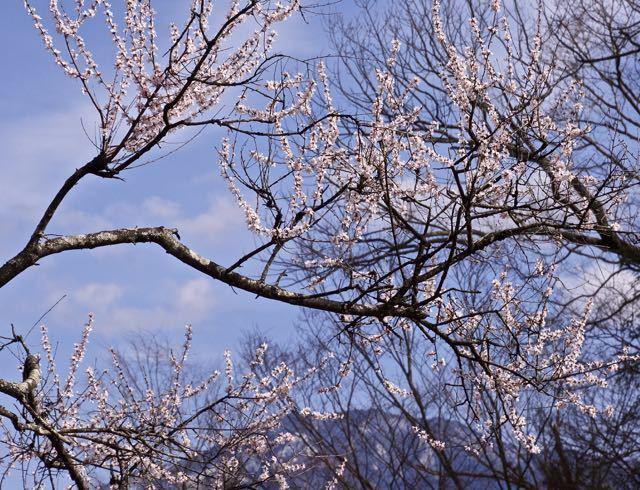 苗木城跡の桜が咲き出した.