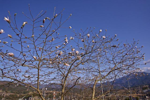 シデコブシ咲く。
