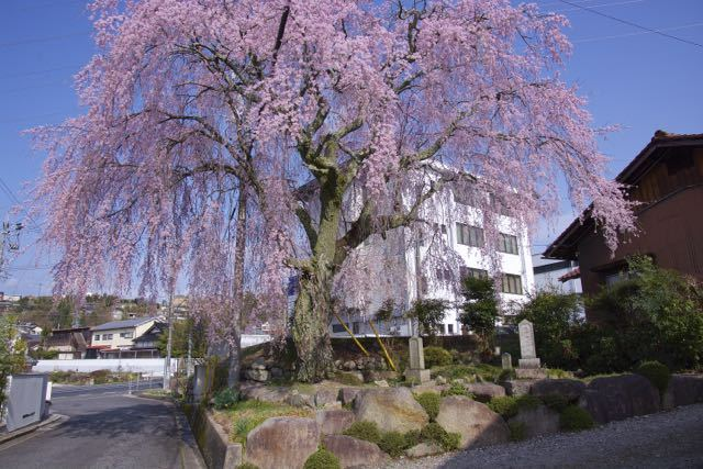 間家の大枝垂桜。 border=