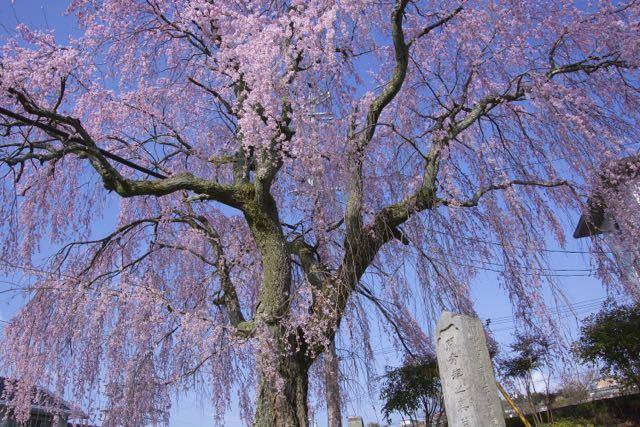 間家の大枝垂桜。