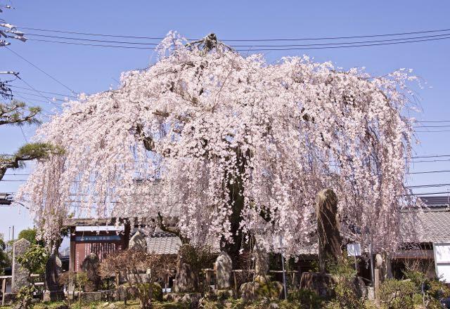 地蔵堂の大枝垂れ桜が満開になりました。 border=