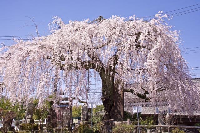地蔵堂の大枝垂れ桜が満開になりました。