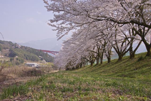落合桜の散り始め。