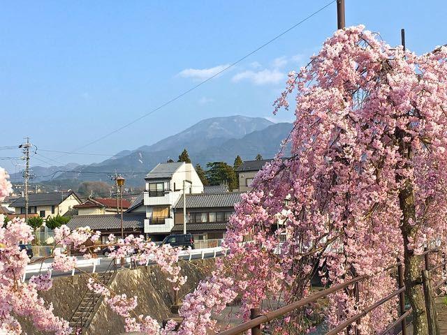 四ッ目川枝垂れ桜満開。